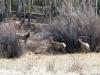Wild Elk Herd at Vickers Upper Ranch Lake City, CO