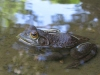 Large Frog at Memorial Park Crystal Shrine Grotto Pond