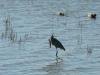 Pahranagat Reserve Wading Bird Feeding