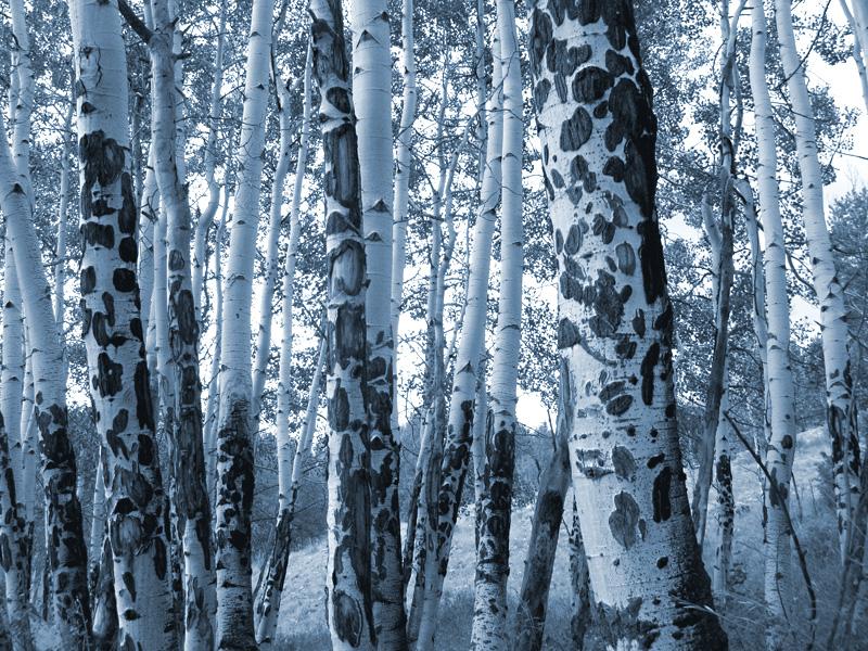 Colorado Aspen Trees