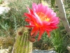 New Mexico Spring Cactus Flower in Bloom