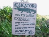 Swimming with Alligators in Floriduh