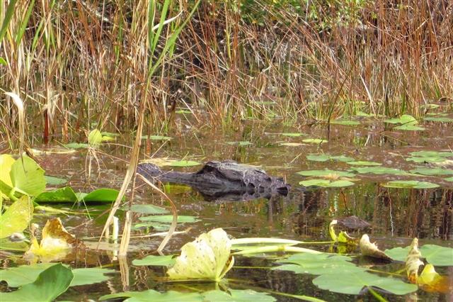 Aligator Okefenokee Swamp, GA