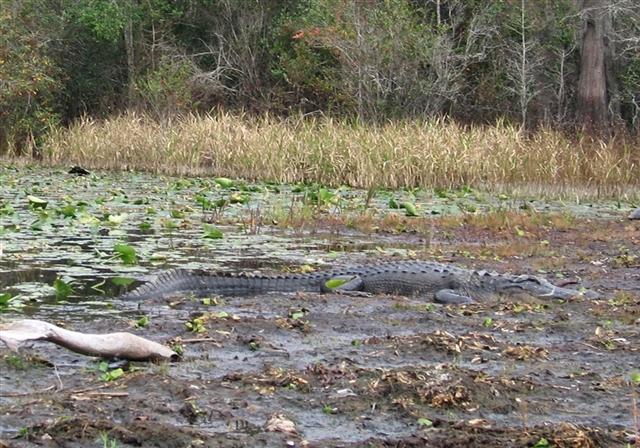 Alligator in Okefenokee Swamp, GA