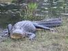 Alligator Okefenokee Swamp GA