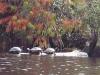 Yellow Bellied Pond Slider Turtles Okefenokee Swamp