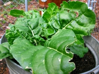 High Altitude Colorado Garden Chard