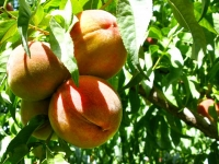 Organic Valley Farms Peaches Paonia Colorado