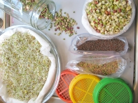 Fresh home sprouted sprouts from the RV kitchen