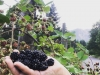 Oregon blackberries