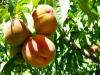 Organic Valley Farms Peaches Paonia Colorado