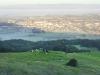 Running with Cows up Taylor Mountain, Santa Rosa CA