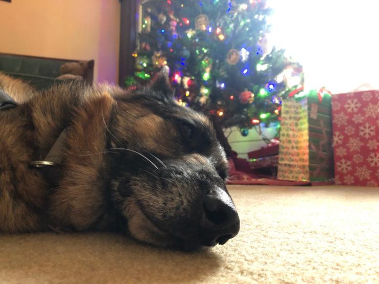 One tired Christmas dog