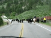 Red Feather Lakes Road Colorado Cattle Drive