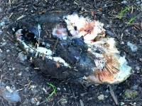 Bear chewed salmon head near hyder, Alaska.