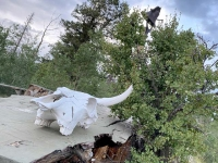 Gold Hill Cow Skull