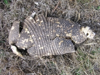 One Very Dead Armadillo in Luckenbach
