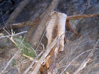 Elk fallen from above Three Rivers Trail near Tularosa, NM