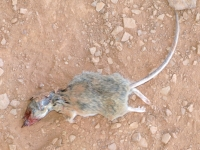 Fresh Dead Rat on Fremont River Trail in Fruita Utah