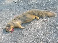 River Road Fresh Kill Squirrel