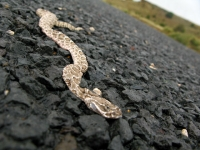 Black Mesa Rattlesnake Roadkill Oklahoma