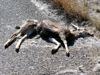 New Mexico Dead Deer