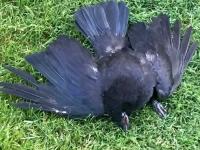 Faquier, BC Roadside Raven