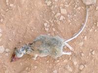 Fresh Dead Rat on Fremont River Trail in Fruita Utah