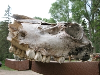 Elk or Horse Skull from Vickers Ranch lower Pasture