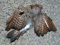 Fresh Woodpecker Roadkill on HWY 149