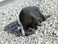 Etna, CA roadkill skunk