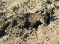 Desert Roadkill Cat at Slab City Hot Springs
