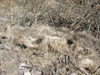 Very old dead Javelina Tombstone Arizona