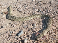 Colorado County Road Roadkill Rattlesnake