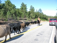 Red Feather Lakes CO County Road Cattle Drive