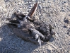 Electrocuted crow under New Mexico power pole.