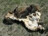 Elk hide leftover from last hunting season