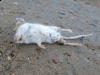 Buena Vista Colorado Mouse Road Casualty