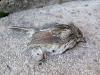 Dead Bird at Vickers Ranch