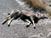 New Mexico Dead Deer