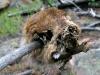 Dead Marmot Skull at Jerry's Acres