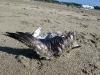 Dead Seagull on Ocean Beach San Francisco CA