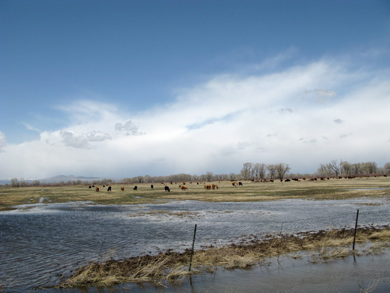 Cattle grazing in Antonito, Colorado