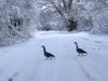 Geese on Snowy Watson Lake Larimer County Colorado