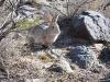 Wild Hare at Three Rivers Petroglyphs, New Mexico