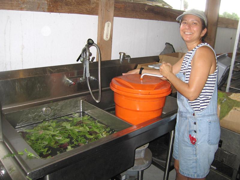 Washing fresh picked lettuce mix
