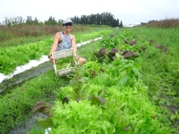 Harvesting Fresh Organic Lettuce Mix