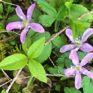 westfir wildflowers