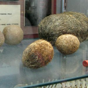 Largest-Hairball-Collection-Veterinary-Museum-Columbia-CO
